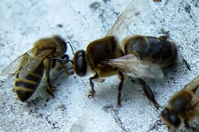 abeille male.jpg